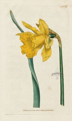 Narcissus major. Great Daffodil. from William Curtis Botanical Magazine 1st Edition Prints Vol 1-6 1787