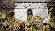 Petition to sign. Government of People's Republic of China: Stop Tiger Farming in China · Change.org