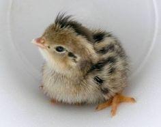 quail baby