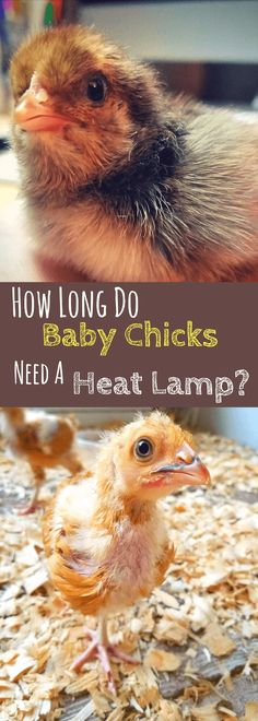 How Long Do Baby Chicks Need Heat Lamp