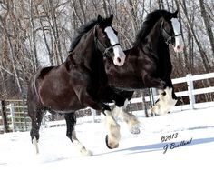 Express Clydesdales's Cool, Blue-Eyed Coolio and Duke at Play  Photo by J. Ann Brodland