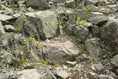 Forum Ogrodnicze Oaza :: Topic: Szczelinowe ogrody skalne (Crevice gardens) (1/5)