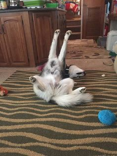 Siberian Husky Twist with a stretch,usually in front of the TV! Siberian Husky Names, Siberian Husky Training, Siberian Husky Puppies, Siberian Huskies, Big Dogs, I Love Dogs, Husky Tumblr, Husky With Blue Eyes, Cutest Animals