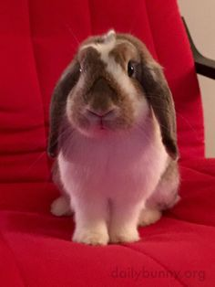 Bunny sits so nicely on human's chair - August 28, 2016