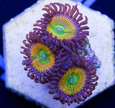 11 Best Zoanthus Palys Coralhouse Images On Pinterest Candy