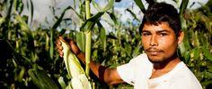 Forby import av GMO-mais - Utviklingsfondet