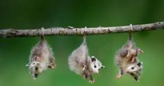 Opossums Hanging by its Tail. Opossums live in forests, woodlands and near farms. They like areas with rivers or streams nearby. They eat almost anything. When scared, opossums hiss, belch, or even pee or poop. They even play dead sometimes. Read more opossums facts for kids here: http://easyscienceforkids.com/all-about-opossums/