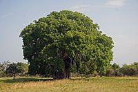 Adansonia digitata - Wikipedia