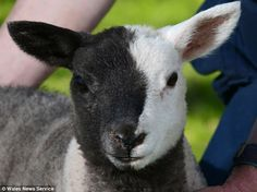Meet Battenberg, the four week-old lamb whose black and white markings saved his life