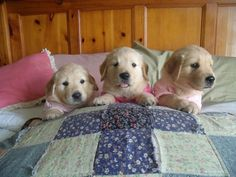 We don't want to go to bed. (Golden Retriever Puppies)