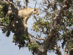 One of the more awesome things we saw on safari!  A lioness in a tree! Ngorongoro Crater @Gina Schreck #Kilimanjaro #Africa #Safari