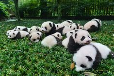 Pandas Have More Babies if They Can Pick Their Mates The discovery may boost efforts to breed captive pandas, which are matched by their genetic compatibility, a new study says.