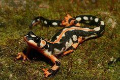 Luristan Newt, Kaiser's spotted newt, emperor spotted newt, Neurergus kaiseri, caudata, amphibia, amphibian