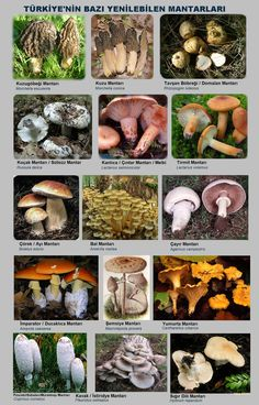 Growing Mushrooms At Home, Garden Mushrooms, Edible Mushrooms, Wild Mushrooms, Stuffed Mushrooms, Poisonous Plants, Medicinal Plants, Christmas Tree Village Display, Mushroom Varieties