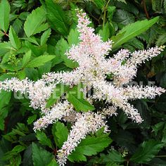 image de Astilbe arendsii Younique Silvery Pink