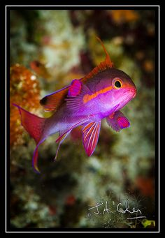 Anthias fish from Papua New Guinea