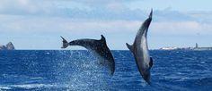 Azorit - vehreitä patikkareittejä ja luonnon rauhaa Costa, Whale, Travel Destinations, Beautiful Places, Gallery, Animals, St Michael, Life, Dolphins