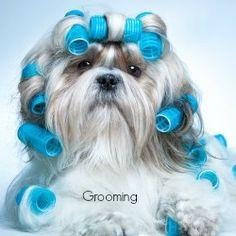 Free art print of Shih tzu dog. Shih tzu dog with curlers Shih Tzus, Shih Tzu Hund, Perro Shih Tzu, Shih Tzu Puppy, Small Dog Breeds, Small Dogs, Small Breed, Dog Boarding Kennels, Pet Boarding