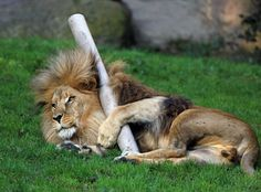 Lion; Playtime by Klaus Wiese on 500px