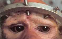 These eyes tell the story - This kinds of barbaric abuse is happening   in research labs, private industries, universities, Science departments etc all   over the world. Take action for those who have no voice