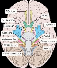 Examining the Trigeminal Nerve: Introduction: Cranial nerves are nerves that originate in the brain. Humans have 12 pairs of cranial nerves: olfactory nerve optic nerve oculomotor nerve trochlear nerve trigeminal nerve abducens nerve facial. Nursing School Notes, Nursing Schools, Medical School, Endocannabinoid System, School Study Tips, Medical Anatomy, Human Anatomy And Physiology, Med Student, Nurse Life