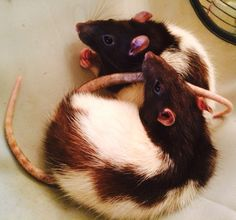 My rats: Boo and Blinkin  (These are not my rats, but cute names)
