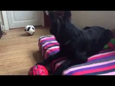 Like a Wolf . 6 month old . Old german Shepherd Dog Cana - YouTube