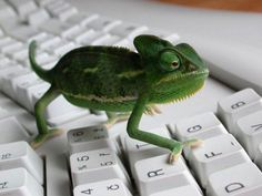 I want a lil friend cameleon to hang with me at work :)