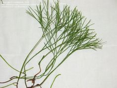PlantFiles Pictures: Whisk Fern, Skeleton Fork Fern, Moa (Psilotum ...
