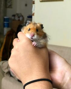 This sub is dedicated to hamsters and their humans. Hamster Pics, Bear Hamster, Hamster Care, Cute Funny Dogs, Cute Funny Animals, Cute Baby Animals, Animals And Pets, Fluffy Animals, Funny Hamsters