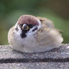 「食べたら動きたくなくなっちゃったよ〜」 ぐでスズ〜 #雀 #スズメ #すずめ #sparrow Pretty Animals, Super Cute Animals, Funny Birds, Cute Birds, Bird Pictures, Nature Pictures, Animals And Pets, Baby Animals, Bird Template