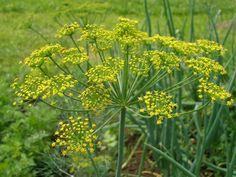 Укроп пахучий или огородный Anethum graveoleus L. Семейство сельдерейные -Apiaceae Сырье: трава, плоды. Сбор: травы — во время плодоношения; плодов — во время созревания. Укроп пахучий - однолетнее травянистое растение высотой 40—120 см. Листья влагалищные, многократно перисторассеченные на линейно-нитевидные доли. Цветки мелкие, желтые, собраны в соцветие сложный зонтик. Все части растения пахучие. Плоды — плоскоэллиптические вислоплодники. Цветет в июне — августе. Плоды созревают в августе…