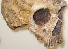 The Neanderthals (Homo neanderthalensis) inhabited Europe and parts of western Asia between 230,000 and 28,000 years ago; during the last few millennia they coincided with Homo Sapiens Sapiens, and became extinct for reasons that are still being challenged.