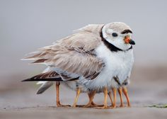 Piper Plover plumps for one of its primary roles following the hatching of its chicks
