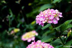 写真 紫陽花 202003 もうすぐ梅雨明け?(・・?) My Works, Plants, Flora, Plant