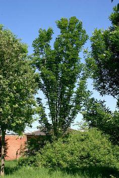 Acer cappadocicum subsp. lobelii