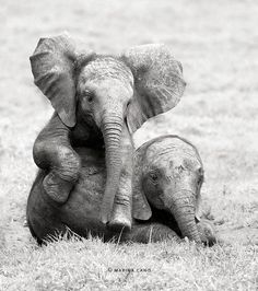 Baby Elephants. So sweet. By Marina Cano.