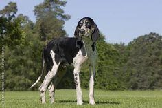 Grand Anglo-Français Blanc et Noir #Puppy #Dog #Hound #Dogs