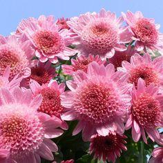 Греческий язык   Учим греческий язык   Страница 2 Planting Bulbs, Planting Flowers, Flower Close Up, Wild Flowers, Seeds, Beautiful, Chrysanthemums, Greek, Yard