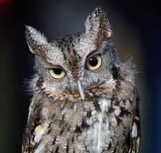 taken during the Owl Moon Raptor Festival at Black Hill Regional Park in Boyds, MD Eastern Screech Owl III Owl Moon, Barred Owl, Screech Owl, China Painting, Global Art, Creature Design, Nature Photography, Creatures, Photoshop