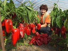 Pěstování paprik má svá pravidla. Pokud se dodrží, úroda se povede. Jan Meisl, autor obří stejnojmenné odrůdy, prozradí vlastní fígle.
