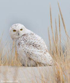 Snowy Owl by axelhildebrandt