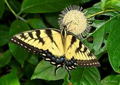 Eastern tiger Swallowtail, Papilio glaucus