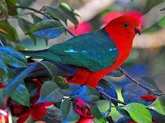 Australian King Parrot via Wild for Wildlife and Nature