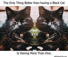 The only thing better than having a black cat – Black Maine Coon Maine Coon, Black Cats, Panther, Wellness, Animals, Beautiful, Animales, Animaux, Animal