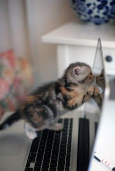 cute foster calico kitten climbs laptop