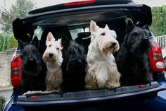 A lovely carload of Scotties!