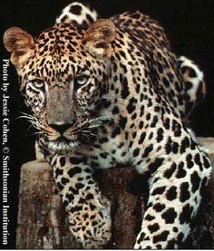 Leopards are mainly found over nearly the whole of Africa, south of the Sahara, northeast and Asia. Now a protected species in Uganda, Kenya, Ethiopia and most parts of the world.