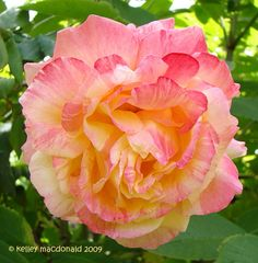 Hybrid Tea Rose 'Tropical Sunset' (Rosa)