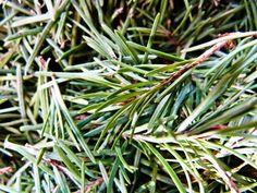 HerbMentor News 78: Evergreen Balm